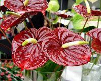 Цветок Мужское счастье: приметы и суеверия, уход в домашних условиях, как пересаживать, болезни