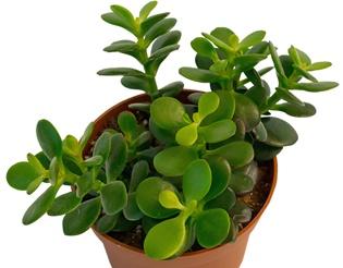 Крассула или денежное дерево: как ухаживать за цветком дома и сложный ли это процесс?