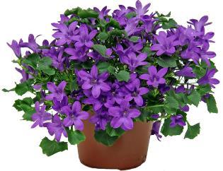 Посадка, уход и размножение цветка каманула в домашних условиях
