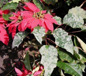 Болезни цветка