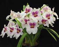 Орхидея дендробиум нобиле: уход, размножение и пересадка в домашних условиях, что делать после цветения