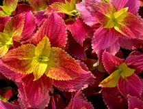 Посадка, уход и размножение комнатного растения колеус в домашних условиях