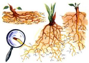 Какое значение имеет для растения корень