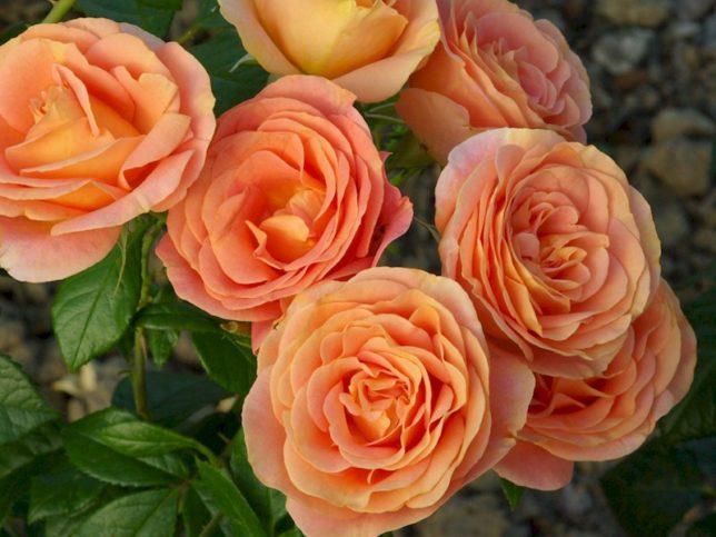 Комнатные розы: названия и фото