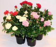 Комнатные розы и уход в домашних условия: посадка, размножение, болезни