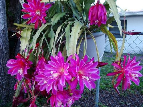 Фото кактуса без колючек, название - эпифиллюм