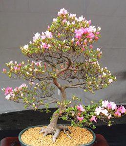 Бонсай дерево сакуры