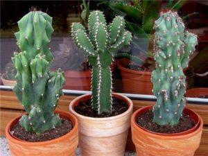 Виды больших комнатных кактусов фото
