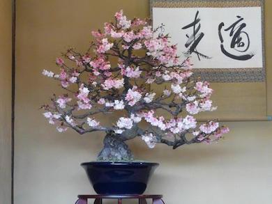 Сакура бонсай: как вырастить из семян японскую вишню