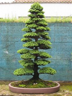 Бонсай дерево уход и выращивание