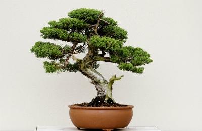 Как вырастить и сформировать дерево бонсай в домашних условиях