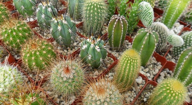 Сколько раз в неделю нужно поливать кактусы