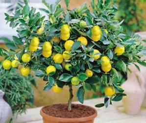 Лимонное дерево бонсай