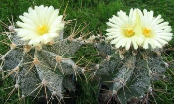 Самые красивые виды Астрофитумов: уход и выращивание из семян