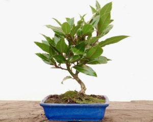 Как вырастить исформировать дерево бонсай