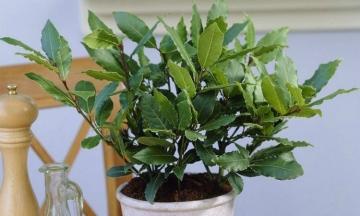 Все, что нужно знать о комнатном растении благородный лавр