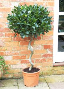 Растение бонсай из лавра