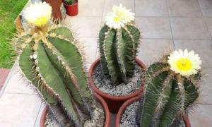 Комнатные растения Астрофитум орнатум