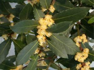 Цветущее растение лавра