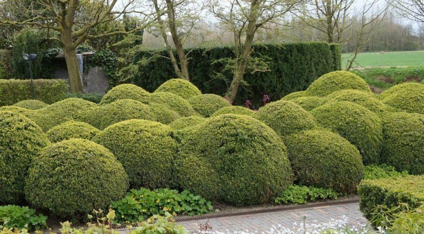 Декоративные деревья и кустарники Бирючина: фото, описание и особенности выращивания