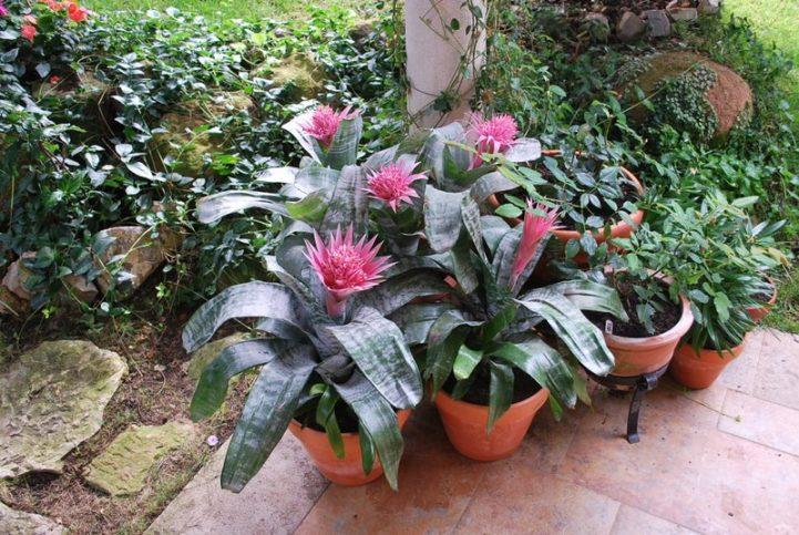 Комнатный цветок Эхмея - уход в домашних условиях, размножение отростками