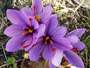 Шафран - цветы похожие на крокусы