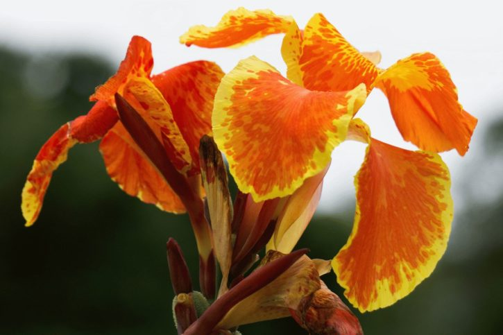 цветок канна посадка