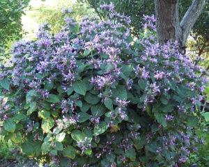 Гипоэстес остистый: фото цветов в саду