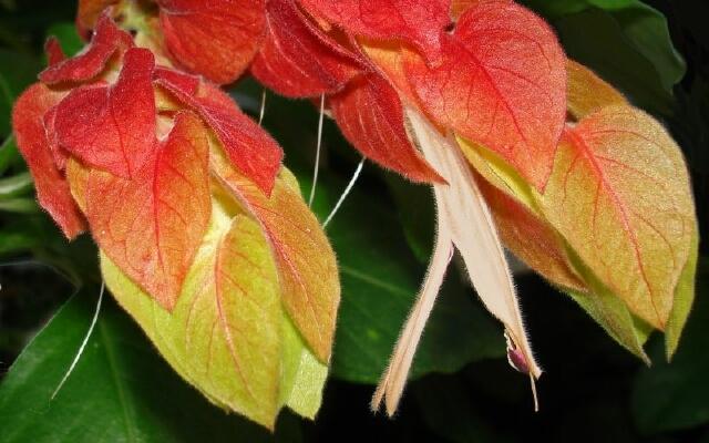 Все о комнатном растении Белопероне - выращивание цветка в домашних условиях