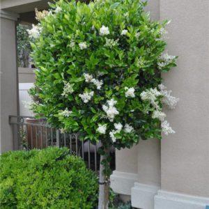 декоративные деревья и кустарники Бирючина - фото, описание и особенности выращивания