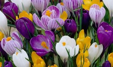Как вырастить цветок Крокус в домашних условиях: фото сортов и правила ухода