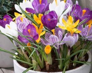 Фото: цветы крокусы, посадка и уход