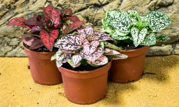 Популярные виды Гипоэстеса и уход за растением в домашних условиях