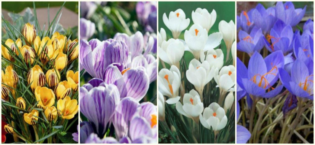 Картинки сортов цветка крокус