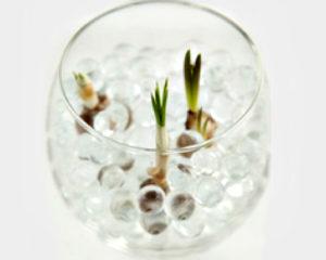 Цветок крокус: посадка в гидрогель