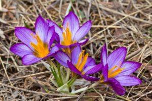 цветок Крокус - уход в домашних условиях: фото, посадка, уход