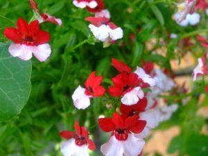 многолетний цветок Немезия - посадка из семян, выращивание рассады и уход на клумбе и дома